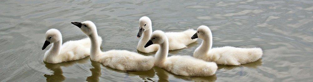 ugly duckings