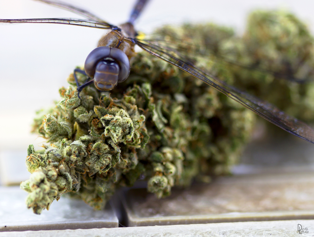 Dragon Fly by Devil Lettuce PH (2015) - Prices vary by size
