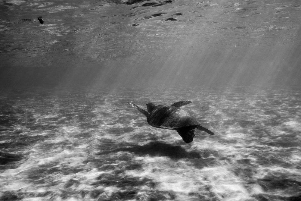 Majestic sea turtles.