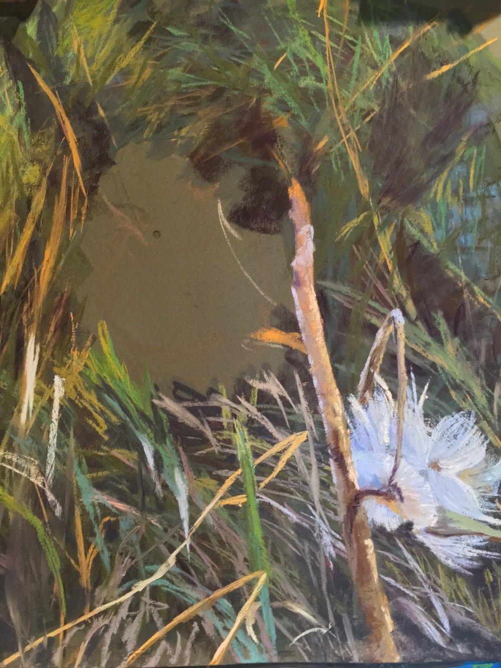 Blown Milkweed, just on the easel.   Pastel
