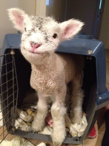 happy goat.jpg