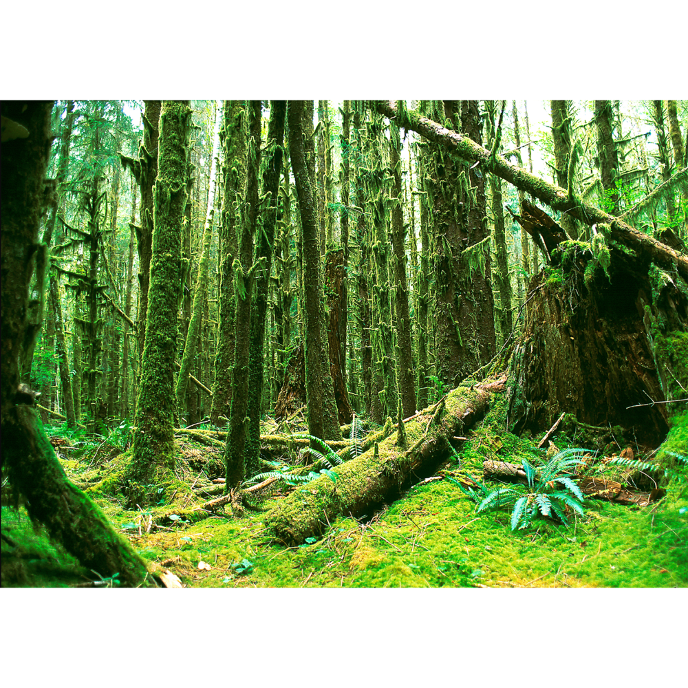 Rainforest photo with green moss and ferns