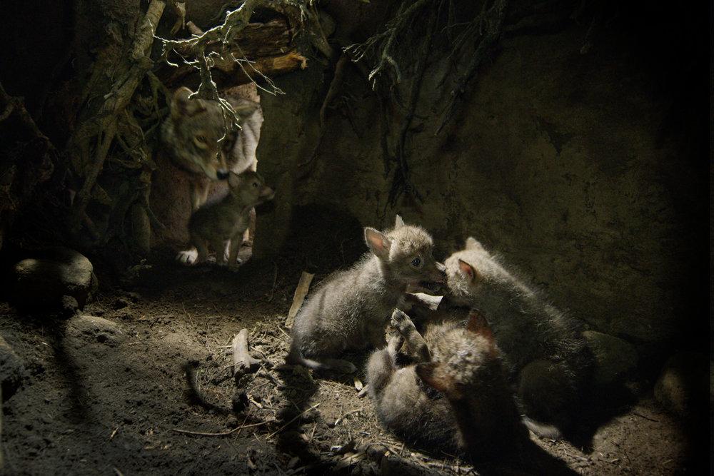 Coyote Pups_11.jpg