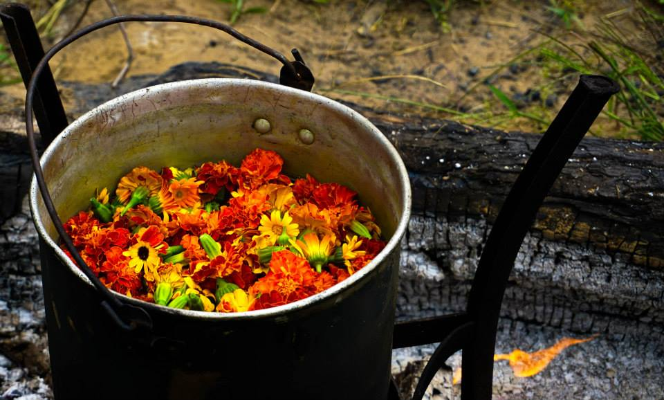 Marigold flowers stewing over an open fire for a dye bath