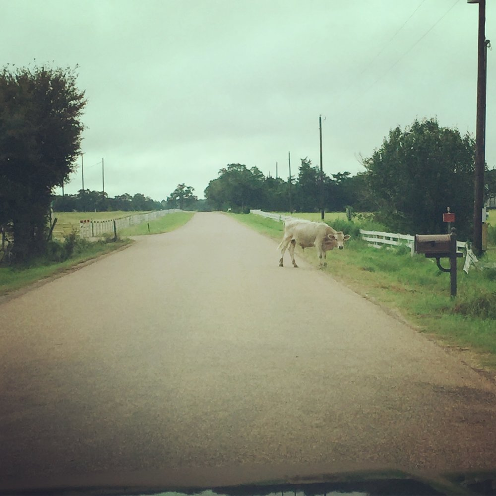 Moooooooove! What a crazy day of traffic in Round Top, Texas.