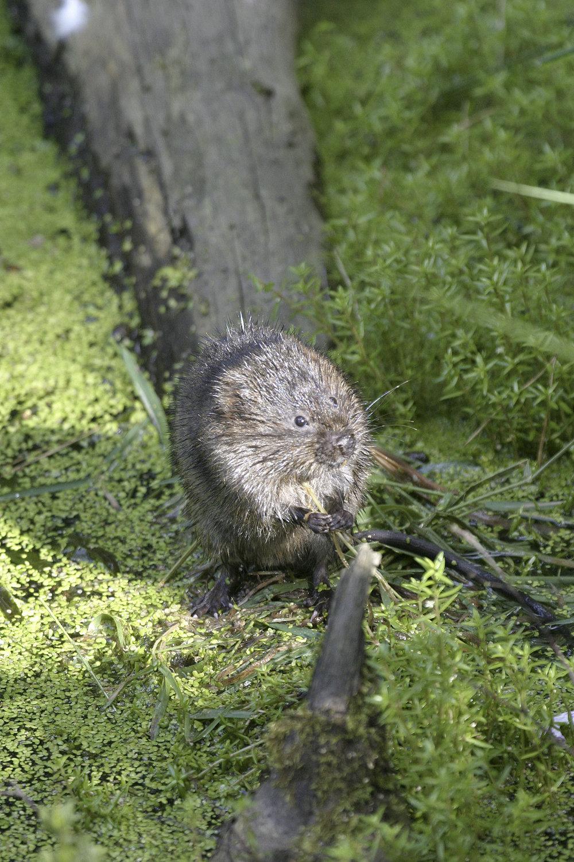 Water voles have recently been released back at Kielder