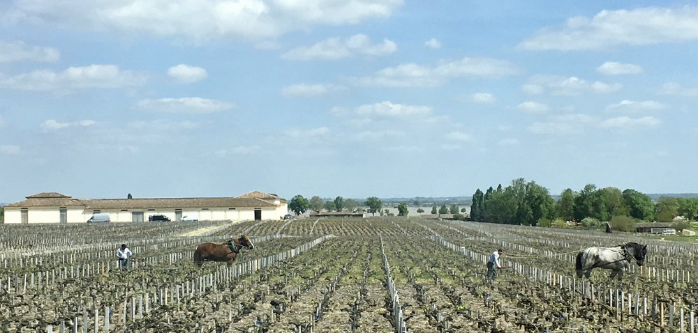 Chateau Latour, the famed first-growth chateau made a commitment in 2008 to farm all of its 230 acres biodynamically. As you can see above, the chateau uses horses (not tractors) to plow its vineyards.