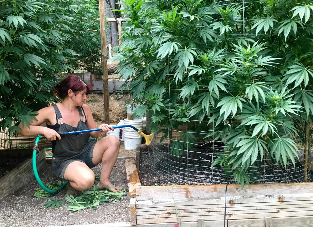 An unnamed worker waters cannabis plants on Steve Dillon's farm in Humboldt County, California, August 28.REUTERS