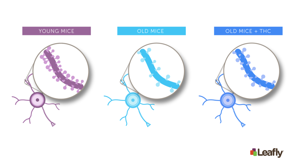 """Figure 1:Chronic THC exposure in old mice can increase the number of connections between neurons in the brain. Brain cells often have structures called """"spines."""" Each spine marks a single connection between two brain cells. Compared to young mice (left), neurons in old-mice (middle) tend to have fewer spines. After chronic THC exposure (right), the brain cells of old mice often look more like those of young mice–they have more spines, and therefore more connections to other brain cells."""