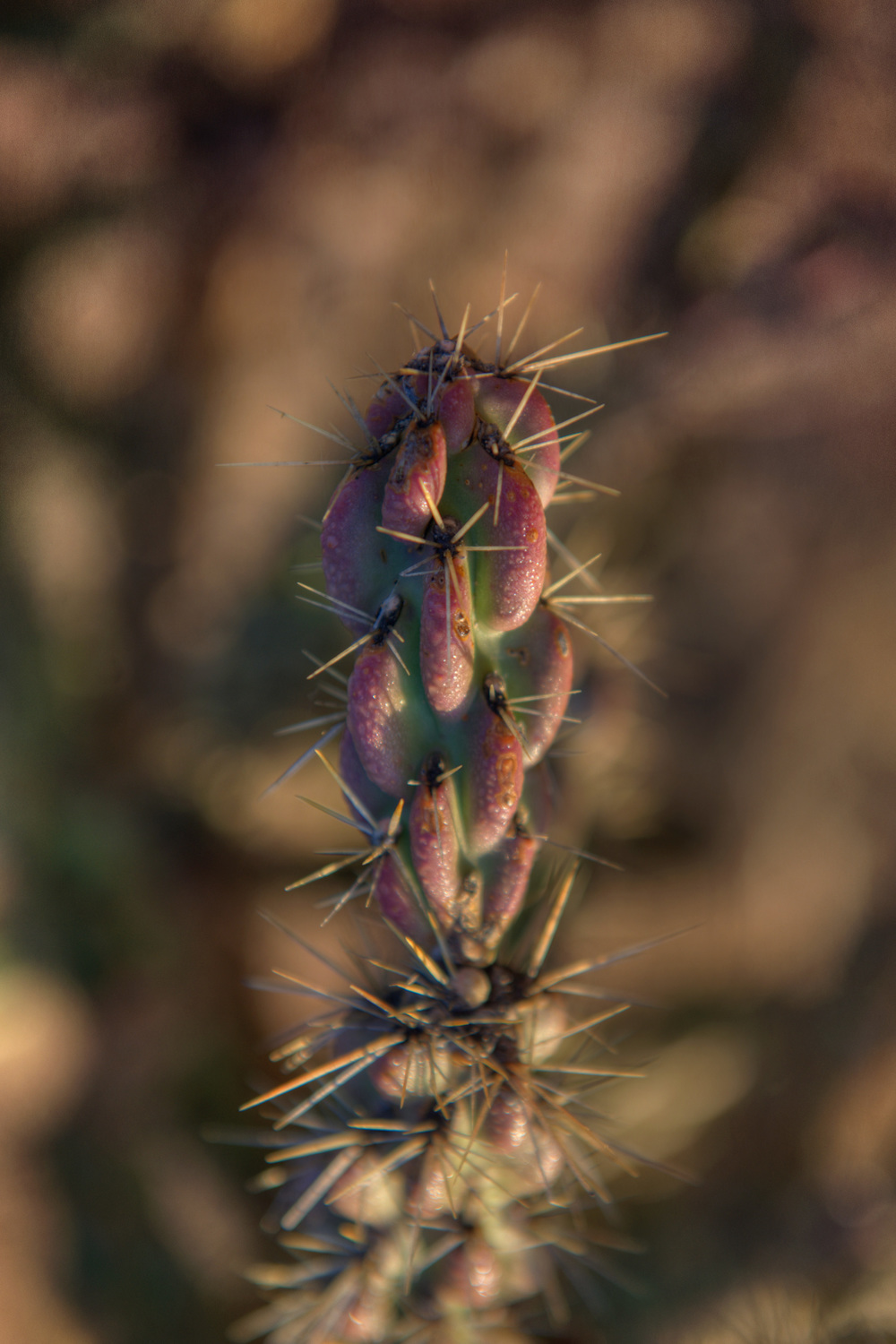 dew on tree cholla.jpg