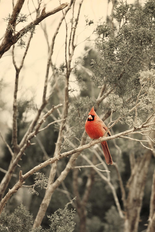 Gentleman Cardinal.jpg