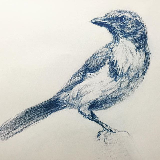 Study of a Scrub Jay #drawing #artistsnetwork #bluejay #scrubjay #brenteviston #lifedrawing #pencil #art #WIP  #animaldrawing #birddrawing #bird #artteacher #sketch #draw