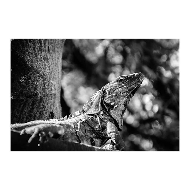 """Iguana"" #bnw #nature #iguana #streetphotographer #blackandwhite_perfection #naturephotography #nx500 #travelphotograph #archesgallery #lizzard #iguanalife #beachphotography #animalphotography #bnwlife #bnwphoto #naturegram #pdc"