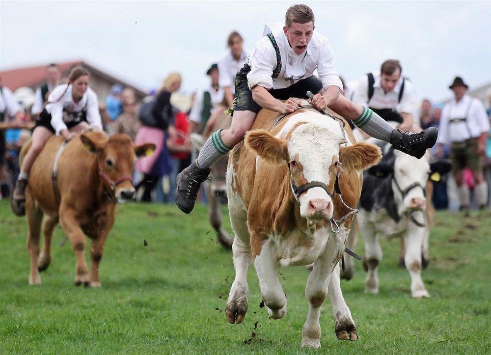 Cow racing.