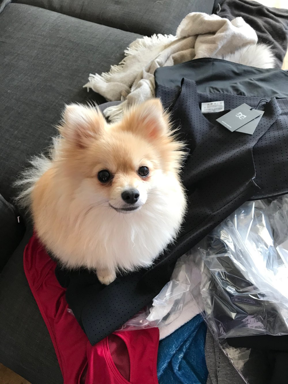 Suki The Pomeranian