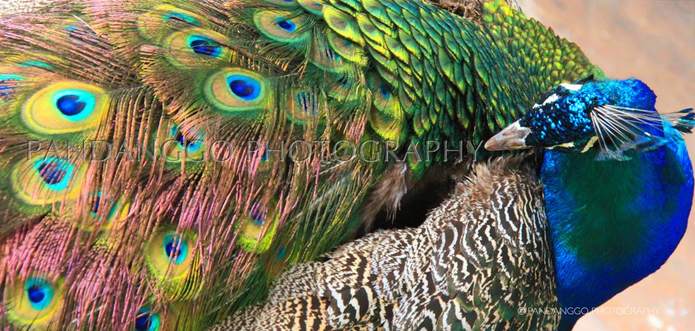 gapalapos-peacock.jpg