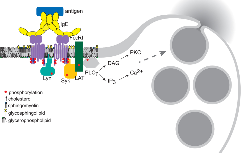 Crosslinking of the high affinity receptor for IgE with multivalent antigen stimulates the allergic response in mast cells and basophils. This initial event is facilitated by interactions of the receptor with specialized cholesterol-rich membrane domains. The final step in this process is the exocytotic release of histamine-containing granules.