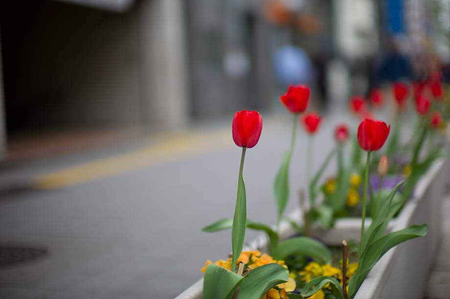 Tulips in Tokyo, Japan