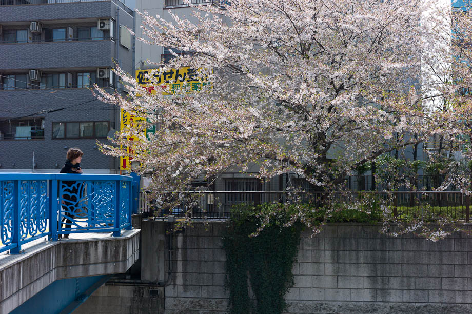 Cherry Blossoms on Meguro River in Nakameguro, Tokyo, Japan