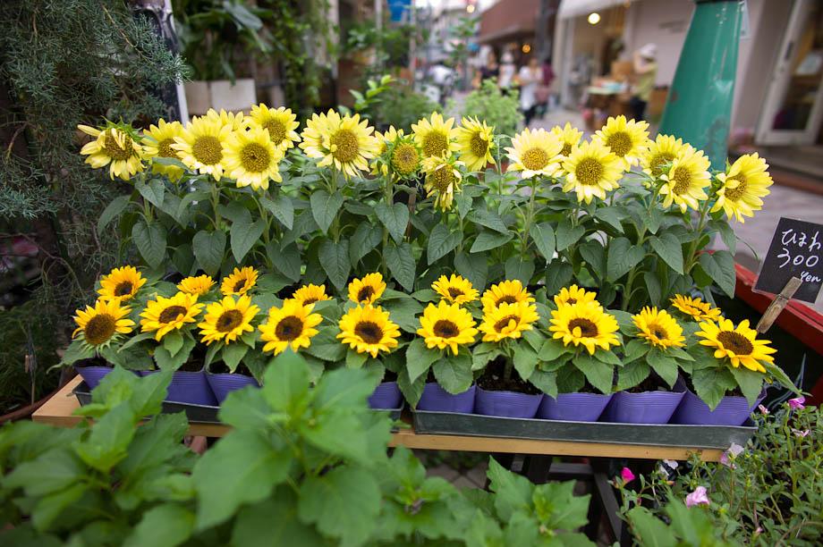 Sun Flowers in Jiyugaoka