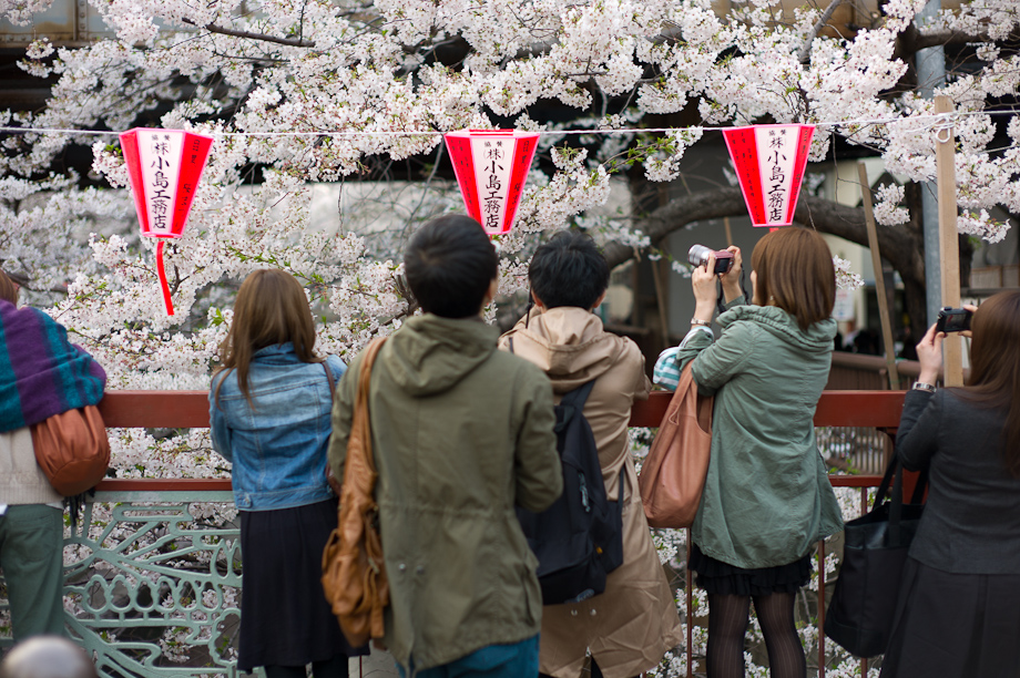 Cherry Blossoms at Meguro River