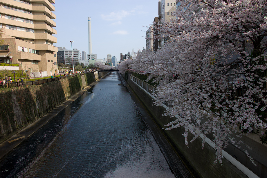 Cherry Blossoms in Nakameguro