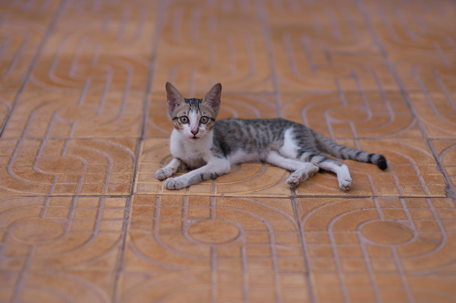 Cat in Phnom Penh, Cambodia