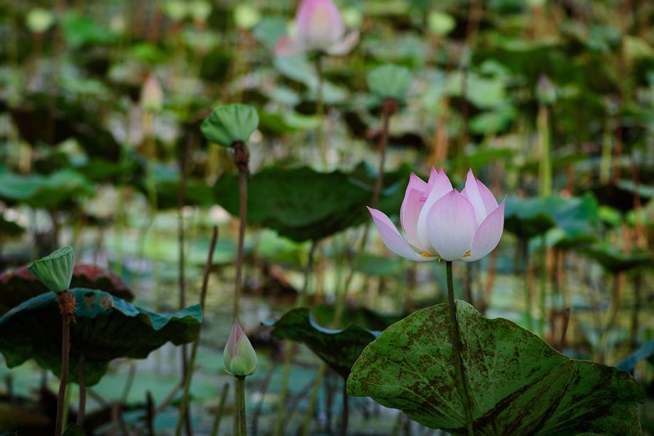 Lotus in Cambodia