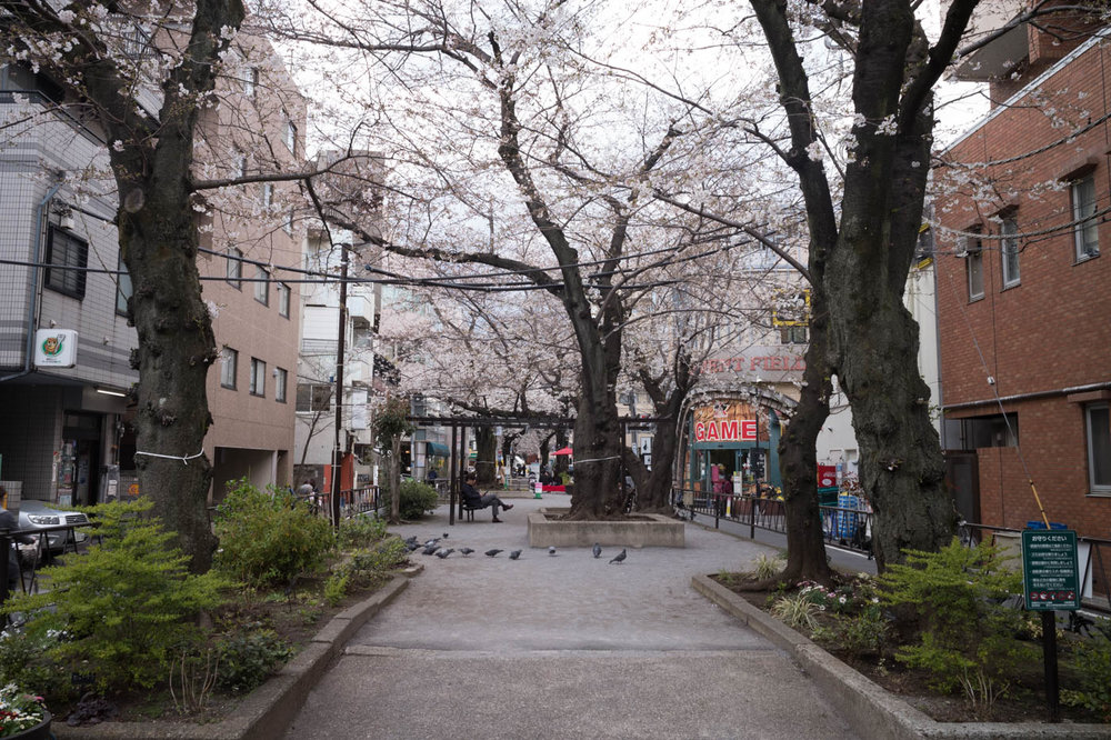 Toritsudaigaku Station Cherry Blossoms