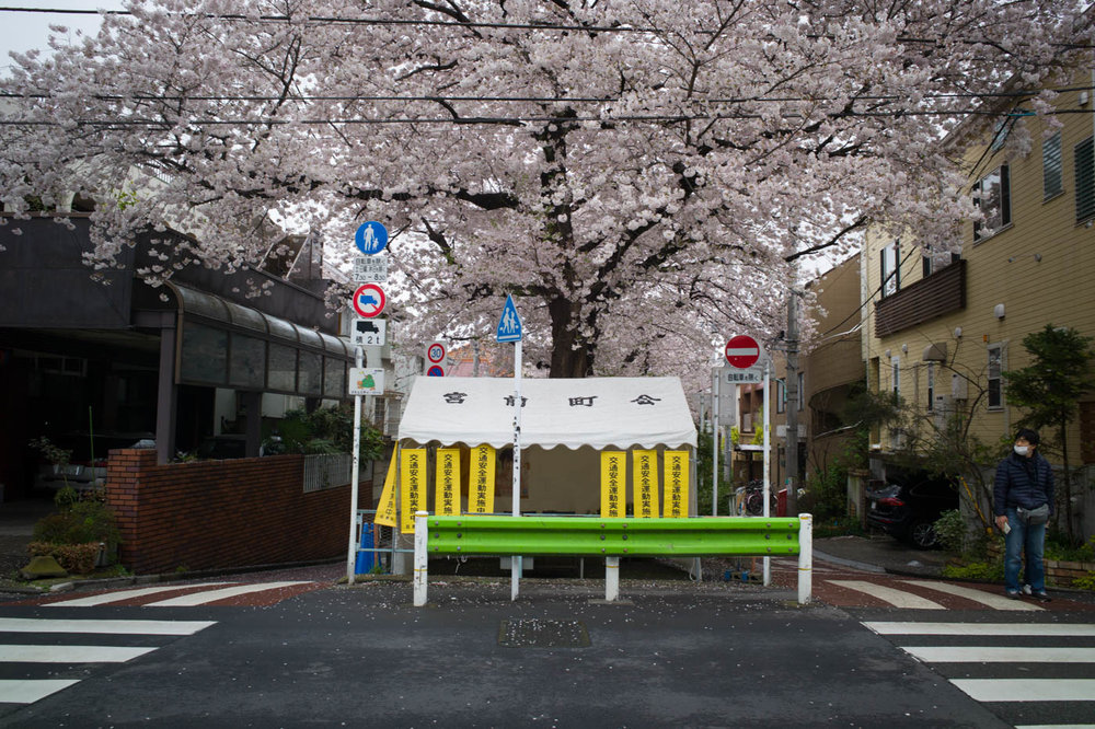 Cherry Blossoms in Nakane