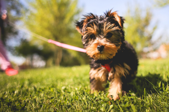 Canineinfluenza.jpg
