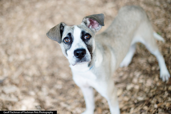 (Meet Dart, a puppy who is available for adoption at the SPCA in Briarcliff NY.