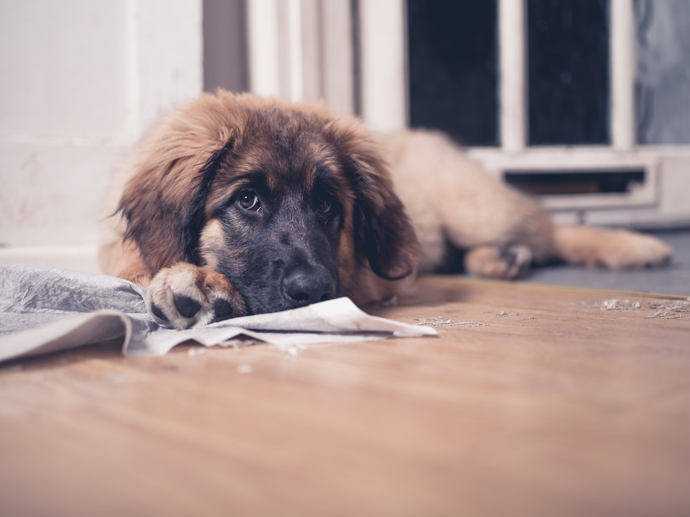 House Training A New Puppy Or Rescue Dog When Dogs Talk