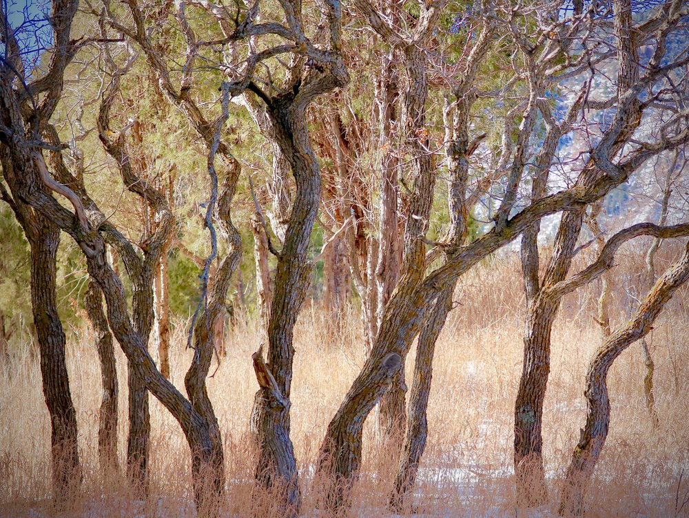 A snarl of Scrub Oak, National Forest Trail, USA