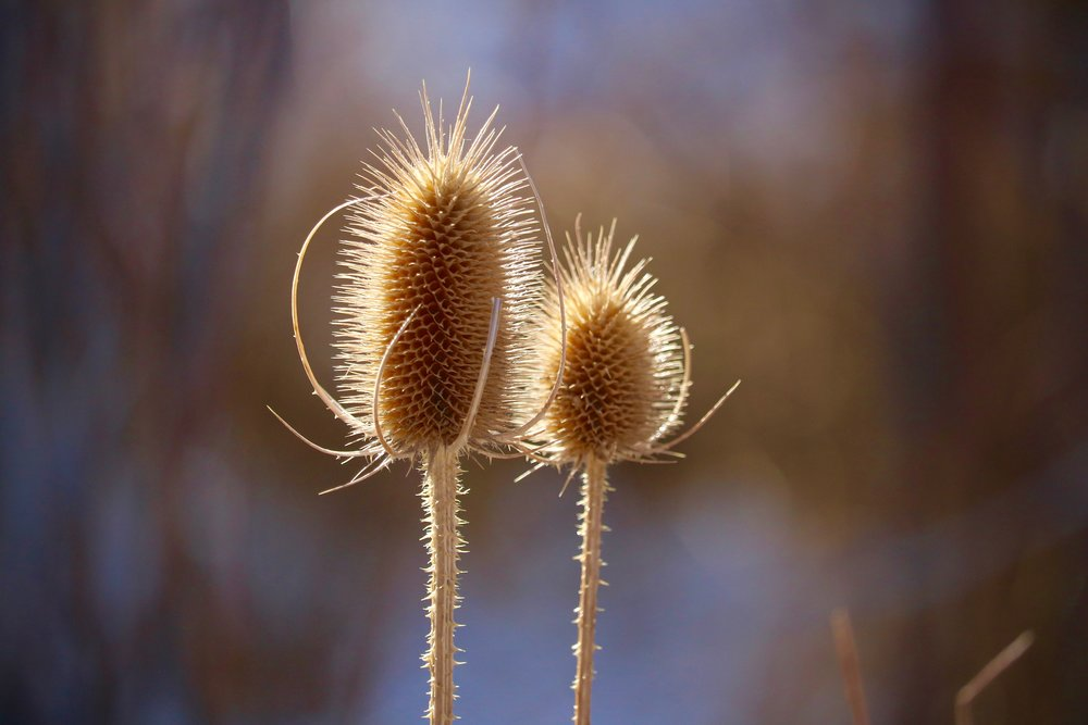 Wild Teasel, National Forest Trail, Colorado, USA