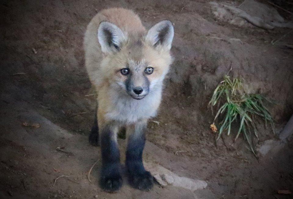 Fox Kit, Breckenridge, Colorado, USA