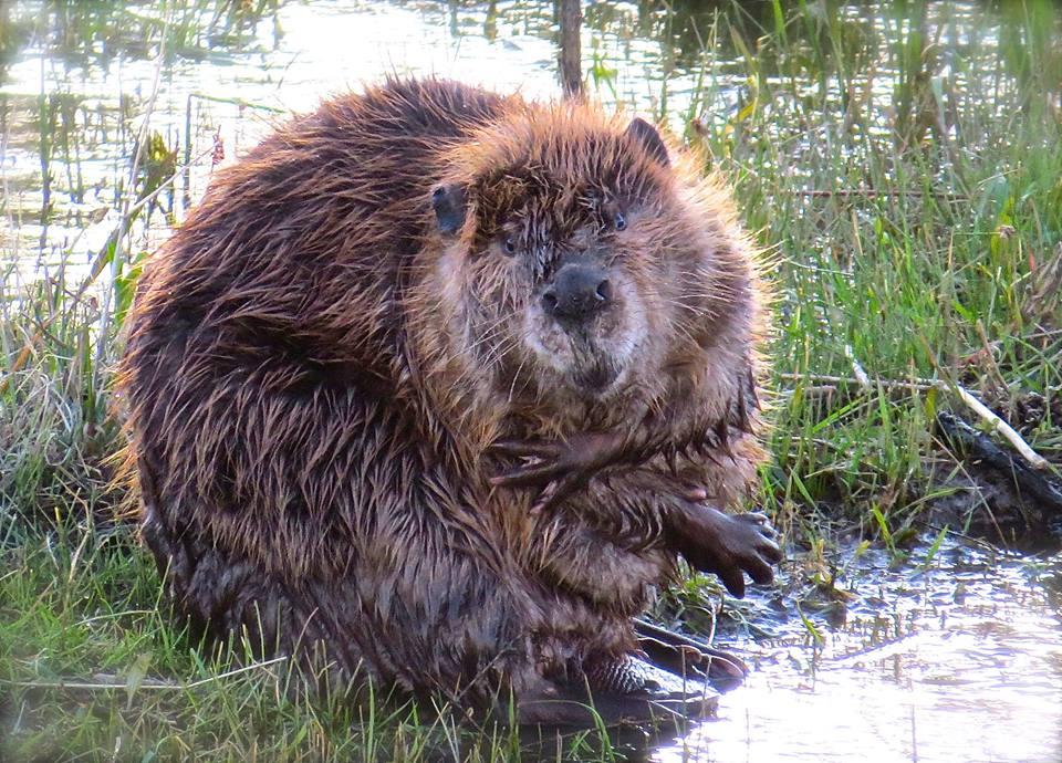 Lazarus the Beaver, Home, Monument Creek,Colorado, USA