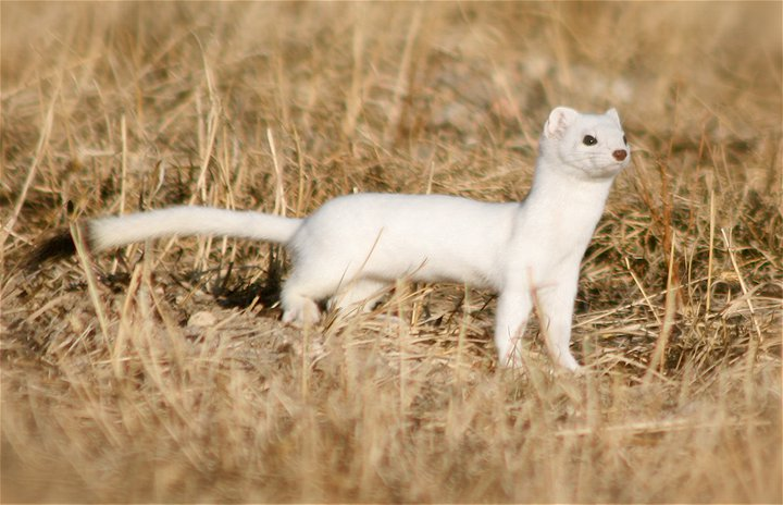 Black-Tailed Weasel, Home, Colorado, USA