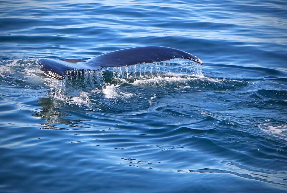 Humpback Whale, the Massachusetts Coast, USA