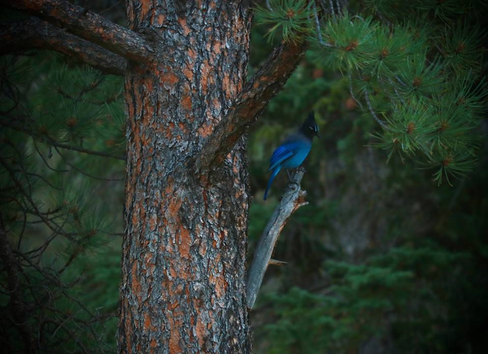 Stellar's Jay, Elevenmile Canyon, Colorado, USA