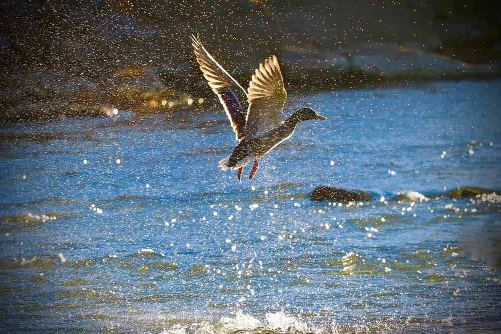 Mallard Duck, Arkansas River, Pueblo, Colorado, USA