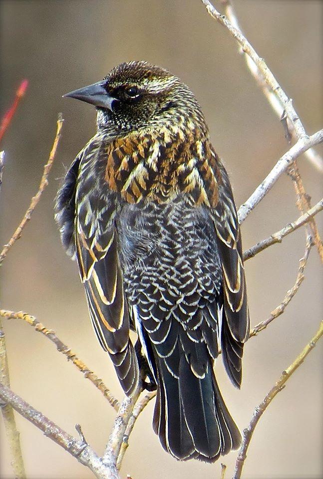 Red Winged Blackbird, Home, Colorado, USA