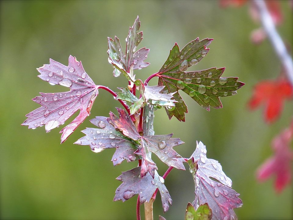 Currant in Autumn, Home, Colorado, USA