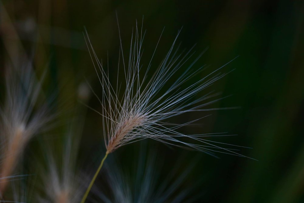 Foxtail, Elevenmile Canyon, Colorado, USA