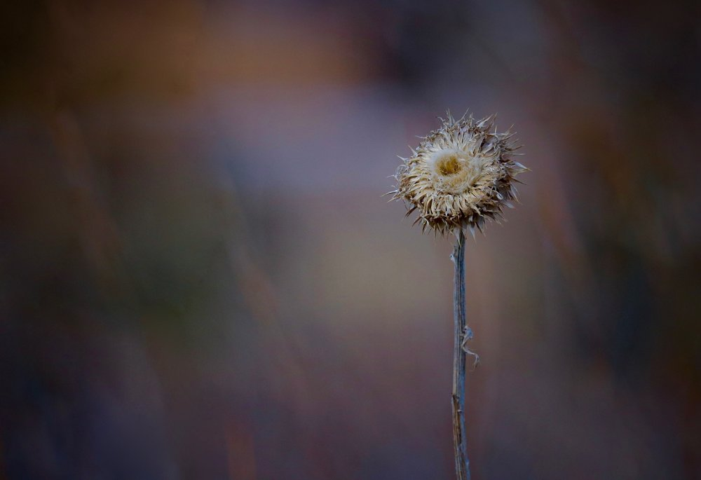 Winter Thistle, Home, Colorado, USA