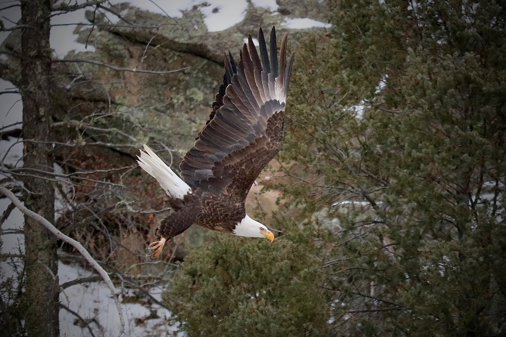 American Bald Eagle, Elevenmile Canyon, South Platte River, Colorado, USA.