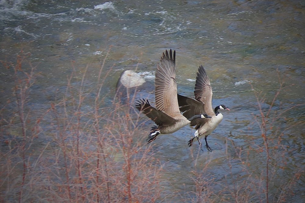 Canada Geese, Elevenmile Canyon, South Platte River, Colorado, USA