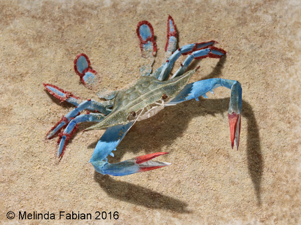 Crab on the Beach - Even the sand is paper!