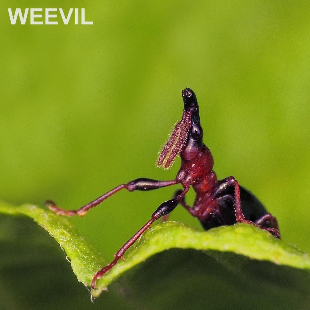 WEEVIL.jpg