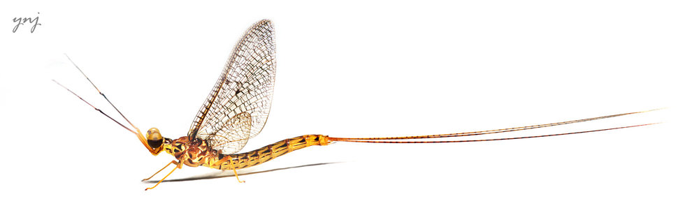 Mayfly.. panorama and stack of 6 images